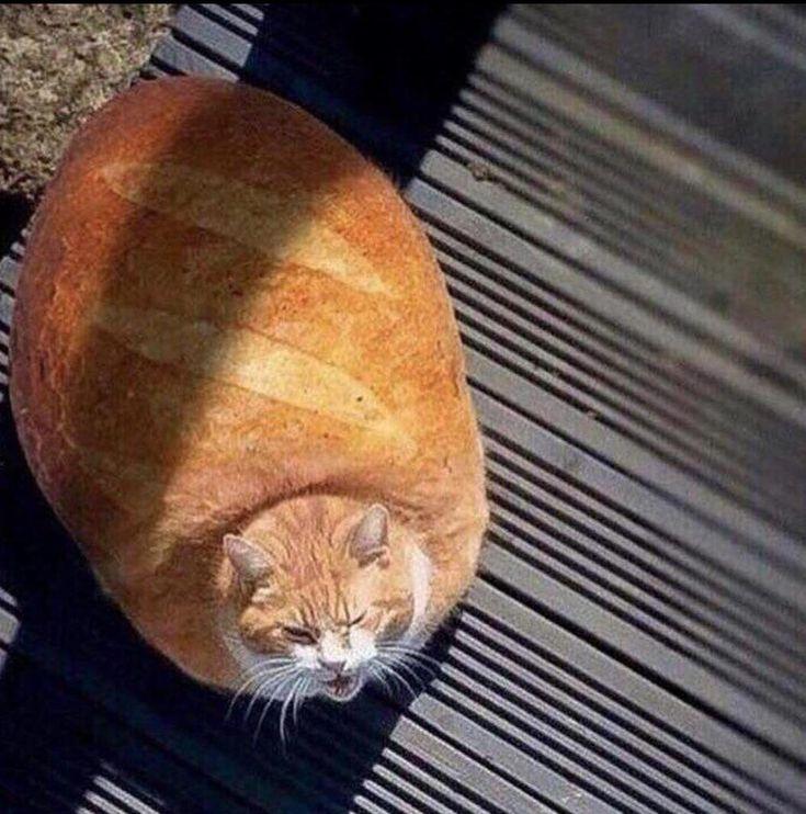 Толстый кот прикольные картинки, смешные