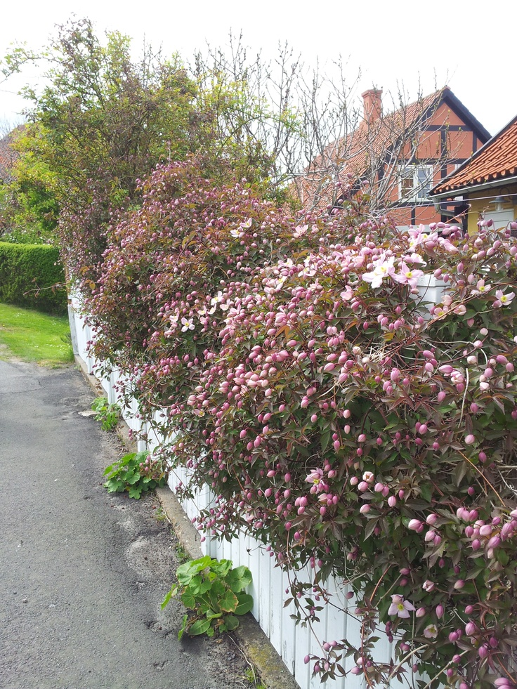 Clematis on a wooden fence. Myriads of flower buds. Would have loved to see it in its full bloom. Svaneke, Bornholm, Denmark