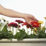 How to Take Care of a Gerbera Plant   eHow