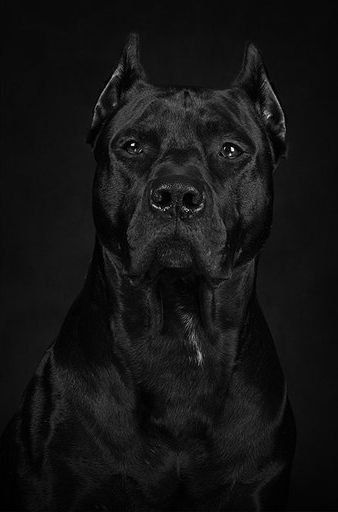 Batdog: Actually a Cane Corso, an Italian mastiff breed [regal, isn't it? will we see one at Westminster next week? can't wait! jh]