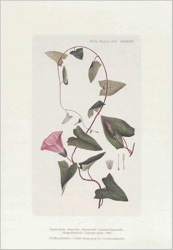 gærdesnerle kunsttryk A4. Fra flora Danica værket.
