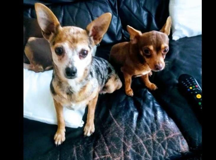 Image Of Meg And Frankie Animals Chihuahua Dogs