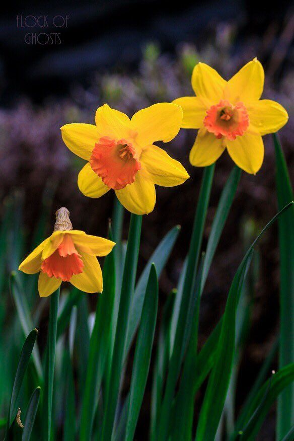 Daffodils Wonderful Flowers Daffodil Photography Flower Pictures