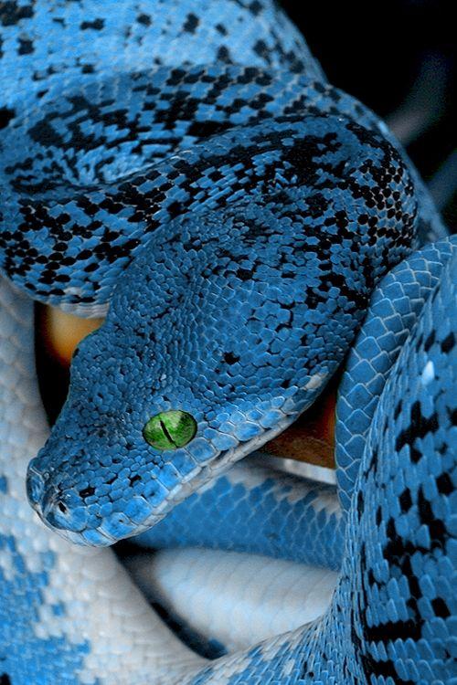 BONITA, PERO PICA O  MUERDE  Y SON LOS   QUE TIENEN TOXINAS MAS VENENOSAS,Blue snake