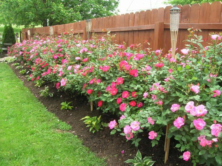 Knockout roses - planting and care