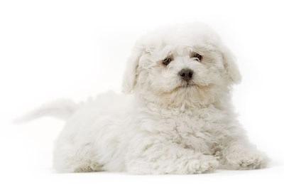 Bichon Frise - he is as cute as Charlie Brown, our favorite Bichon!