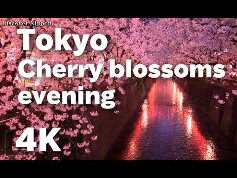 [4K]Tokyo trave東京の夜桜 Cherry blossom evening in Tokyo 東京観光,東京ミッドタウン,目黒川,上野公園,千鳥ヶ淵,東京花見, Japan Trip - YouTube