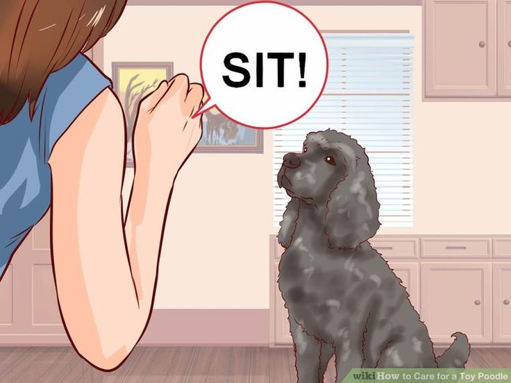 How to Care for a Toy Poodle (Veterinarian Reviewed)