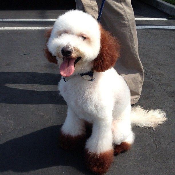 112 best puppy salon images on pinterest coton de tulear coton de japanese style dog grooming in torrance california solutioingenieria Choice Image