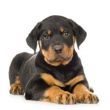 Miniature Rottweiler Dogs | Miniature Rottweiler