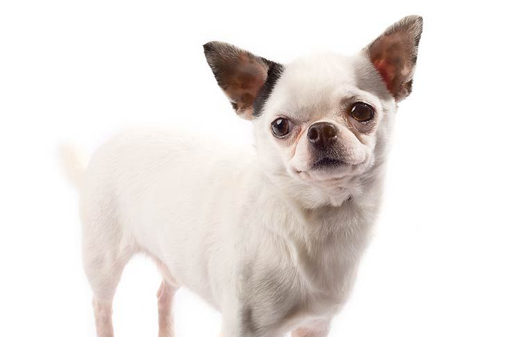 Chihuahua Dog Breed Information Chihuahua Breeds Akc Dog Breeds Chihuahua