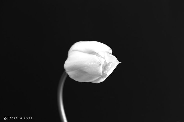 https://flic.kr/p/GfsXw5   White Tulip...   Website   Tumblr    500Px   Instagram   Facebook  Press L to see  Large in Black...  ::: Click here to view my latest images. ::: Click here for my most interesting photos.   Interesting for cory? Contact Me: tkoleska@yahoo.gr  Camera Model: Canon EOS 6D ; Lens's focal length: Canon EF 100mm f/2.8 USM;  All rights reserved - Copyright © Tania Koleska