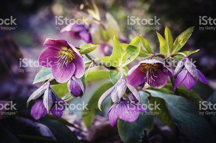 Blumen Lila Nieswurz Lizenzfreies stock-foto