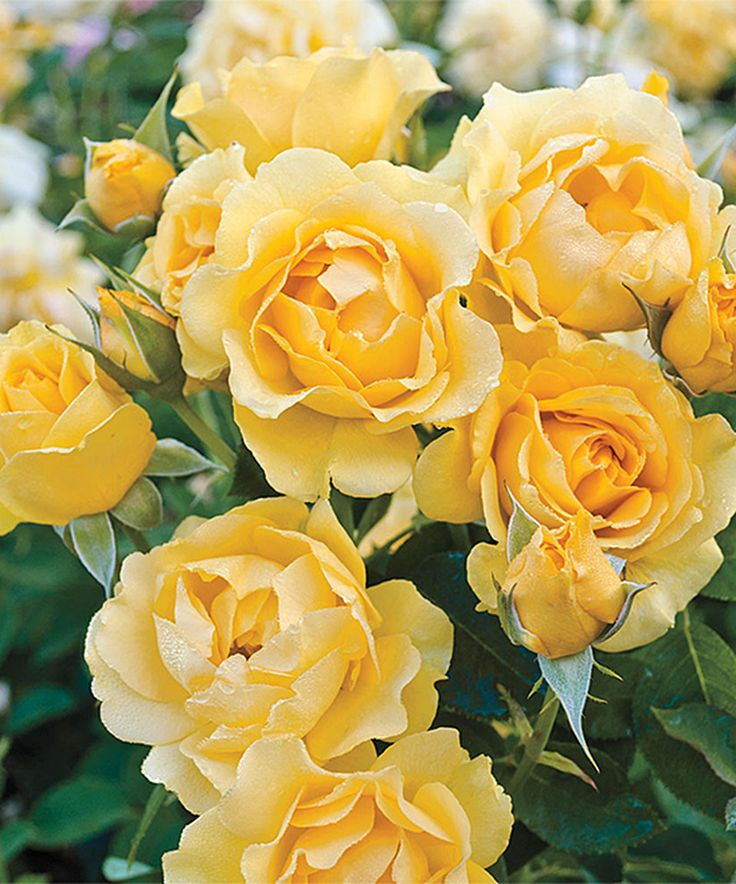 Look at this #zulilyfind! Live Yellow Julia Child Rose Plant by Michigan Bulb Company #zulilyfinds