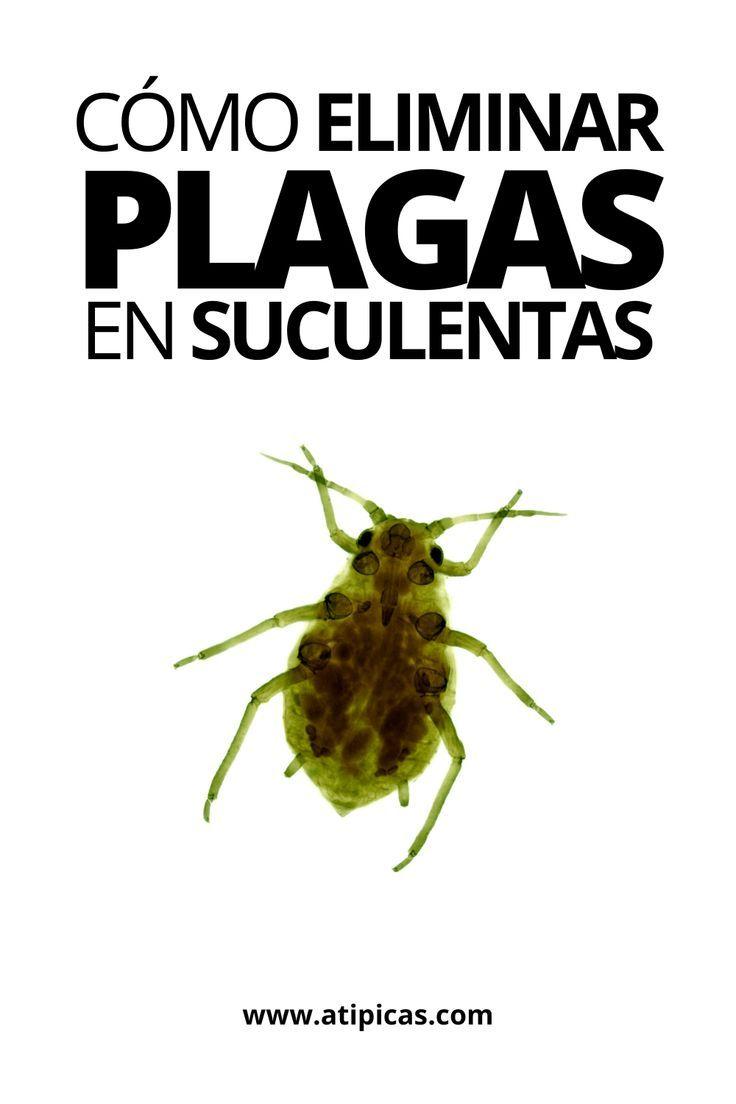 Plagas En Suculentas Y Cactus Suculentas Plagas Cuidado De Suculentas