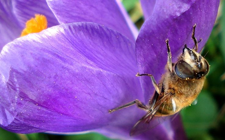 a crocus blooming here this week with a drone fly (Eristalis tenex) on the side, showing specks of pollen on its body