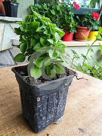 Seedlings of basil in a plastic cup