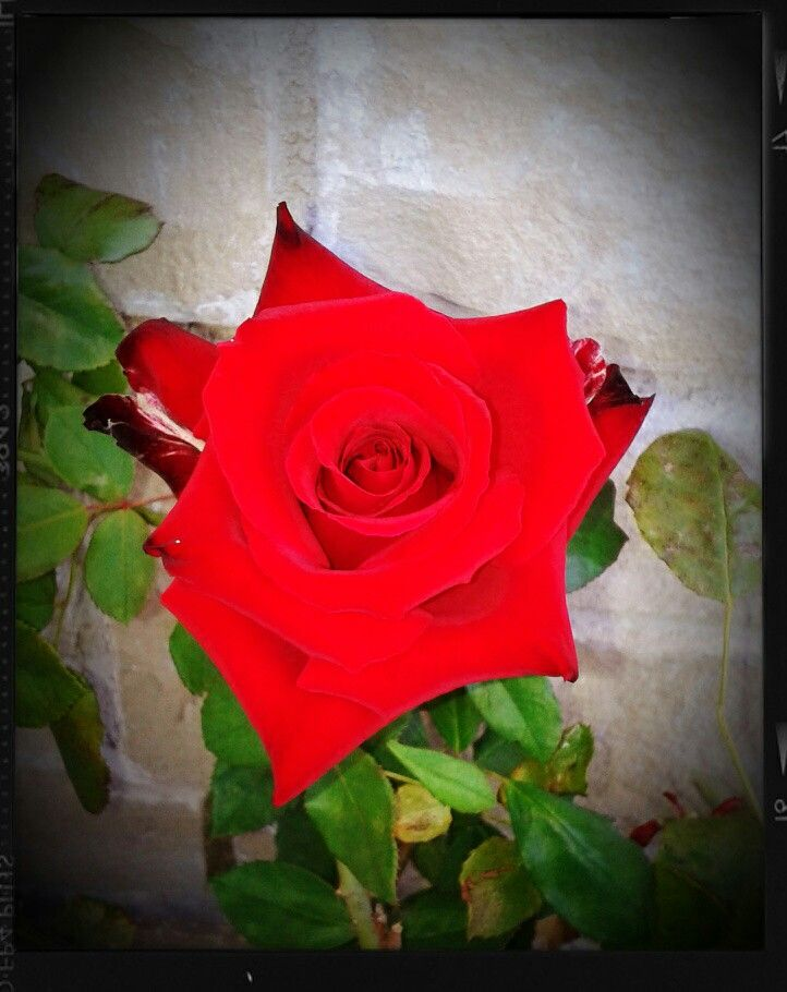 Una rosa per te!!