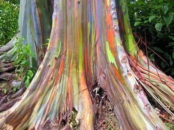 Eucalyptus deglupta, Eucalipto-da-nova-guiné, Eucalipto-das-filipinas