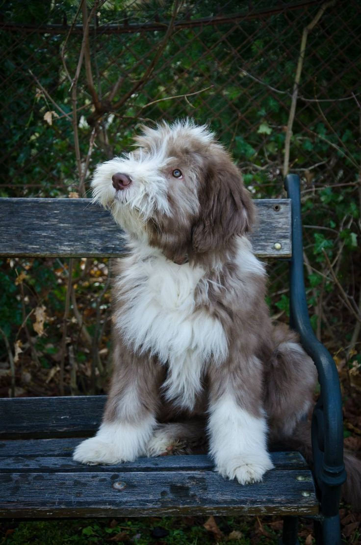 Bearded Collie on the bench