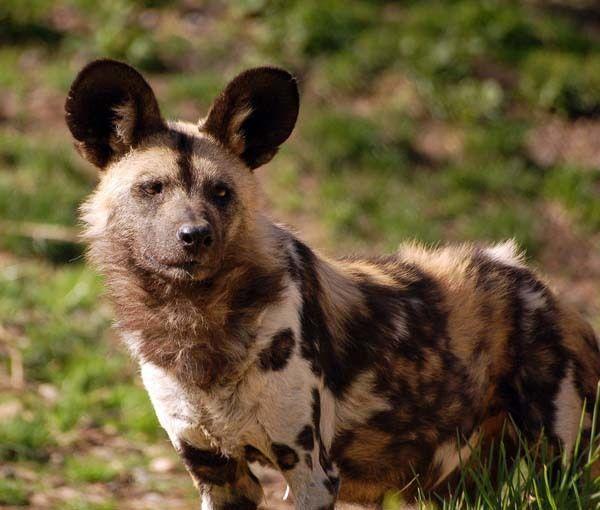 Anda tidak bisa mengadopsi anjing dengan corak Afrika ini, tapi Anda bisa menyayanginya dari jauh.