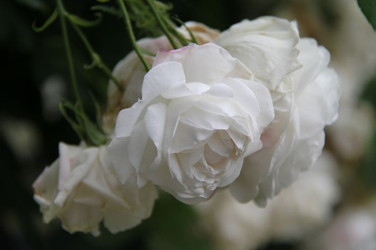 patio roses available