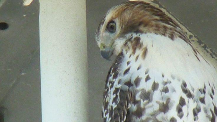 CTV London's resident Red-tailed Hawk | CTV London News