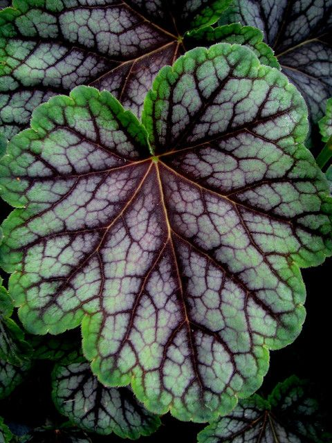 CORAL BELL 'Green Spice' heuchera hybrid - 1) Perennial 2) Attracts butterflies & hummingbirds 3) Deer resistant BUT NOT goat resistant!  4) Height 8-14""