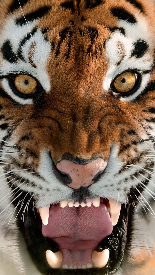 Pretty Tiger Face w Snarling Teeth