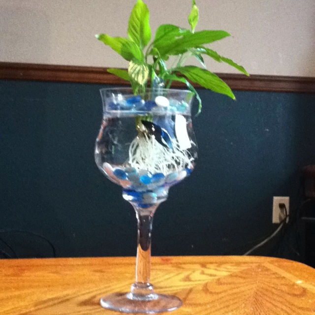 Betta fish tank water hose and the plant on pinterest for Peace lily betta fish