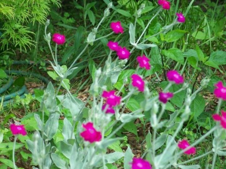 Rose Companion My Garden Pinterest Gardens 400 x 300
