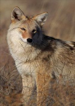 Coyote...Not A Wolf