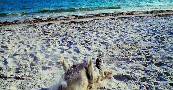 Sobre as pulgas-da-areia. Pulgas-de-areia são pequenos artrópodes encontrados em praias, pântanos e brejos, sendo muito comuns em toda a Europa. A subespécie conhecida como pulga-de-areia de chifre longo também é comum ao longo da costa leste dos Estados Unidos. Apesar do seu nome, pulgas-de-areia são na verdade pequenos crustáceos. Eles são conhecidos por vários outros ...