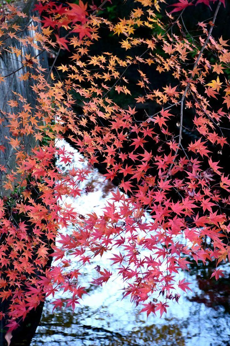 市川市・大町公園の紅葉 Autumn colors/Fall foliage in Ichikawa city,Chiba,Japan