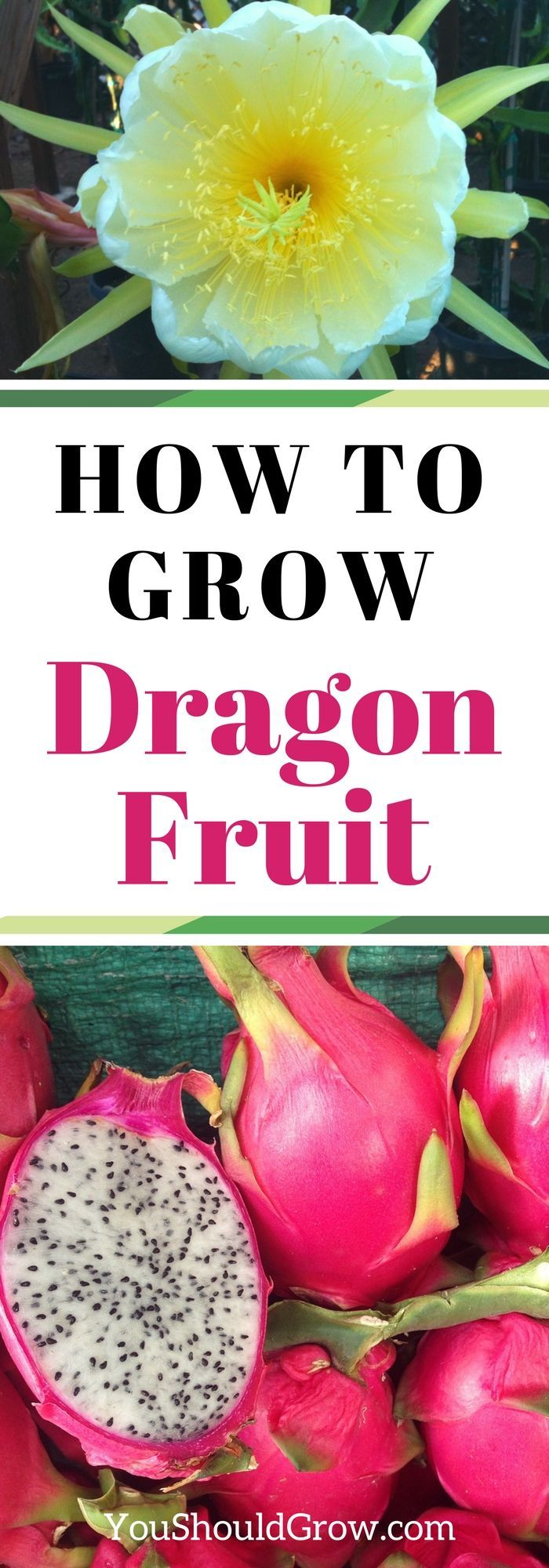 Ever wondered how to grow the exotic dragon fruit? The dragon fruit cactus is actually pretty easy to grow. Find out how to do it and get tips for success at youshouldgrow.com. via @whippoorwillgar