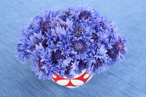 Blue Bachelors Buttons (sometimes called cornflowers).