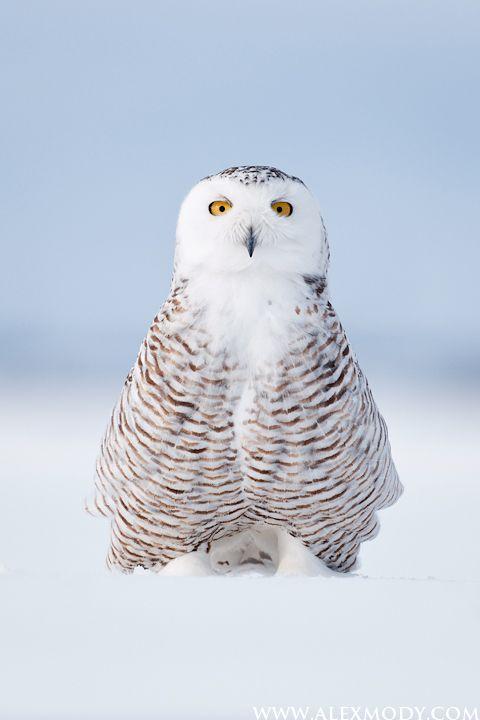 Curious Snowy Owl|Québec, Canada