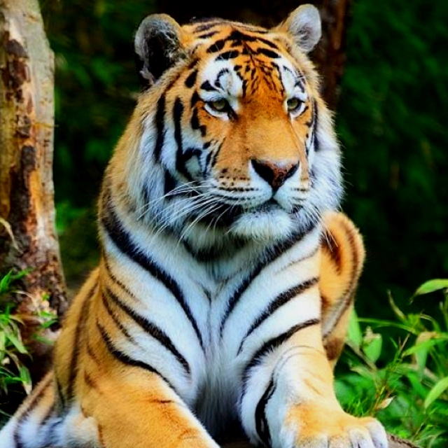 White Tiger Facts | White Tiger Habitat & Diet Facts For Kids