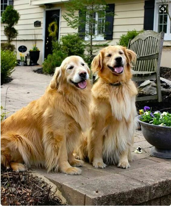 Pin By Tom Coles On Golden Retriever Golden Retriever Baby Dogs