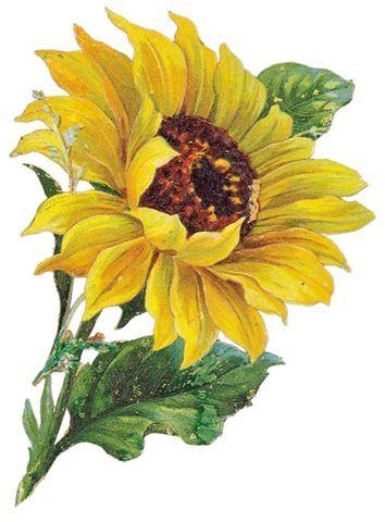 Sunflower clip art free clipart images 3 - ClipartBold ...