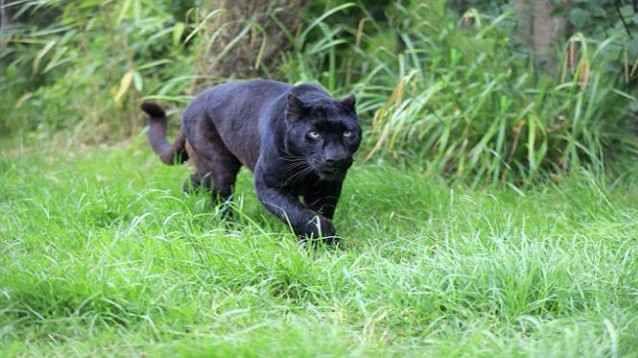 Grosso puma nero avvistato nelle campagne di Pisticci, Matera L' evento oggetto dell 'articolo, sulle prime, mi ha fatto sussultare: pensavo ad un travisamento da parte di persone poco esperte ma, insomma, un laureato in Scienze Forestali dovrebbe saper disting #pantera #pumanero #pisticci #matera