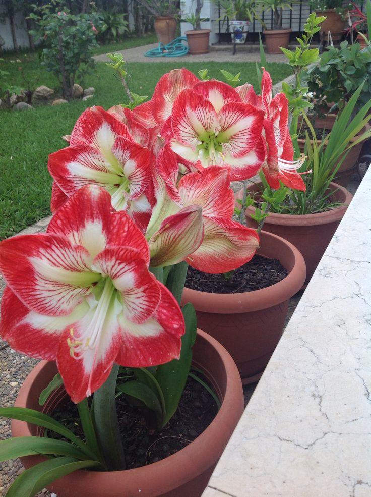 Amarilis banco y rojo