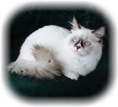Munchkin Kätzchen   – I want!