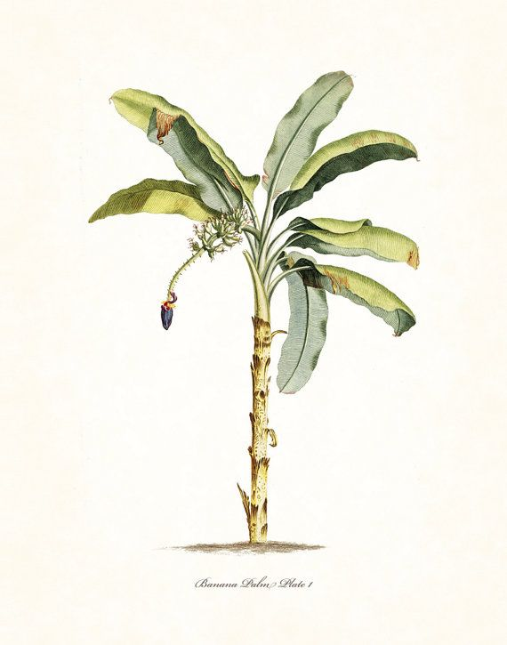 Vintage botanische banaan Palm No. 1 Art door BelleMerGraphics