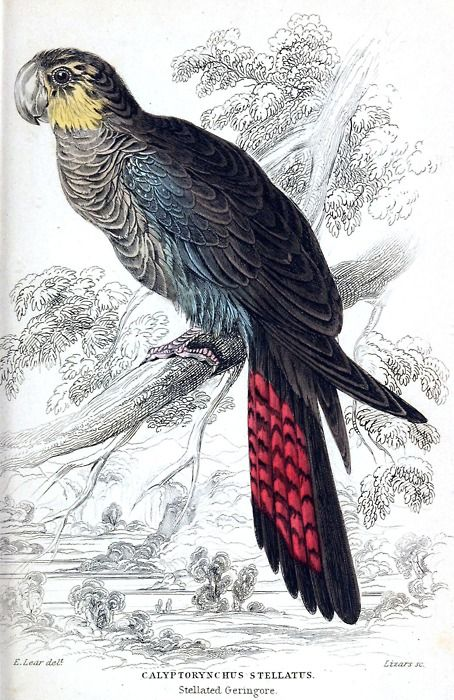 Glossy Black-Cockatoo AKA stellated geringore (Calyptorhynchus lathami, synonym: Calyptorhynchus stellatus).  Edward Lear, from Natural history of parrots, by Prideaux John Selby, Edinburgh, 1836.