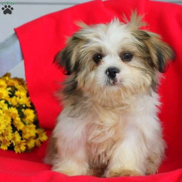 Charming and full of love is what you will find with Krosby, an outgoing Shih Tzu puppy ready to be your new best friend! This happy pup is vet checked and up to date on sots and wormer. Krosby can be registered with the ACA and comes with a health guarantee provided by the breeder. To find out more about this kid friendly pup, please contact Jacob today! Please no calls or sales on Sunday!