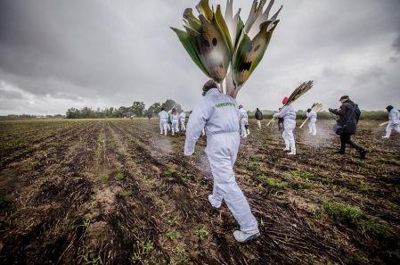 Des faucheurs menés par José Bové et Greenpeace s'attaquent à un champ d'OGM