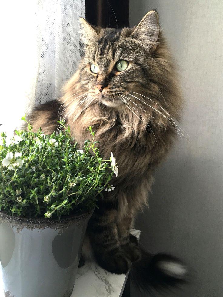 Katt Norsk skogskatt  Norwegian forest cat