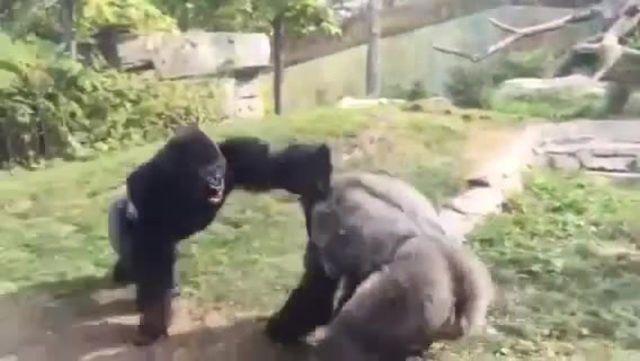 Gorilla fight