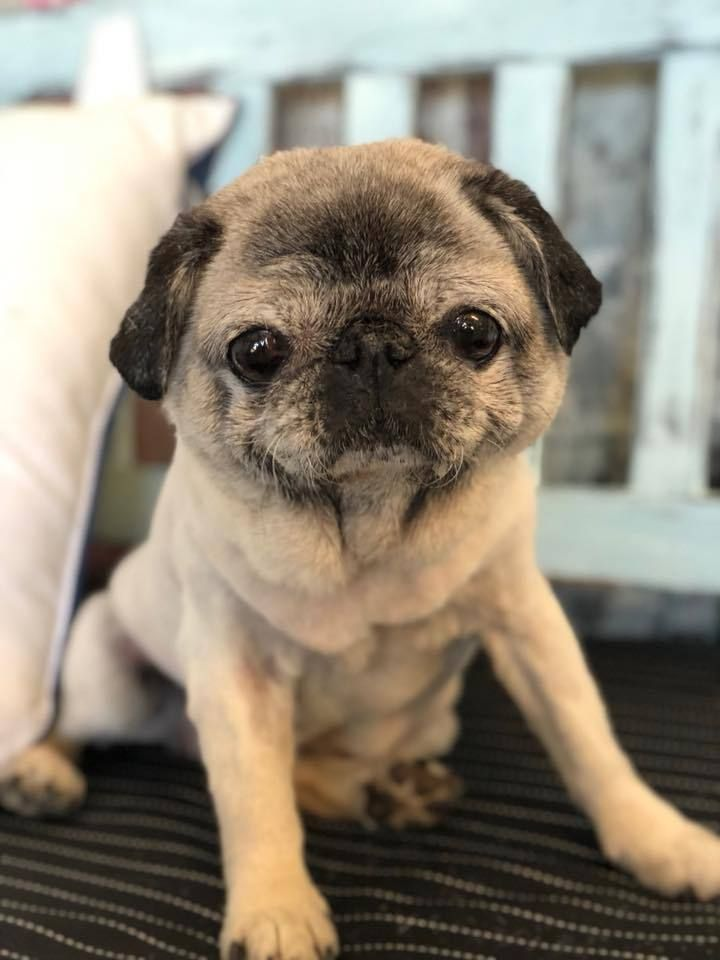 My 13 Year Old Pug Sushi Loves Her New Haircut Click Here For